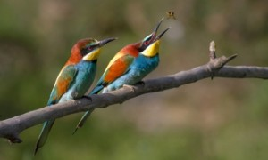 Twitchers flock to get glimpse of rare European Bee Eaters at National Trust Wydcombe, Isle Wight - 17 Aug 2014