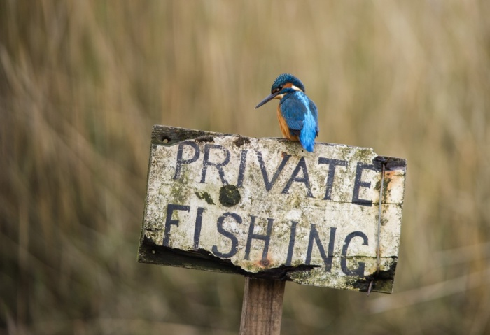 A male kingfisher on a 'private fishing' sign post, Dumfries and Galloway, Scotland