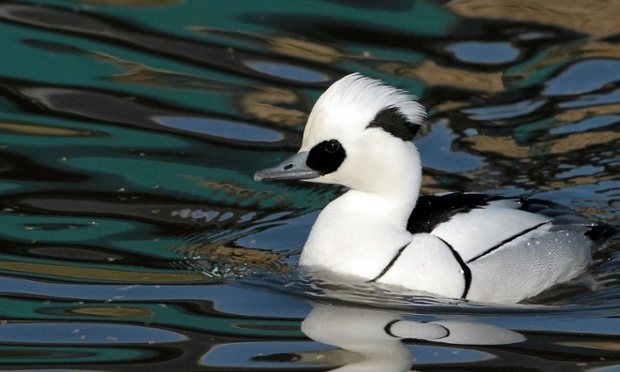 A smew drake, a rare European duck, is doing twice as well in conservation areas protected by the EU, research has shown. Photograph: WWT/PA