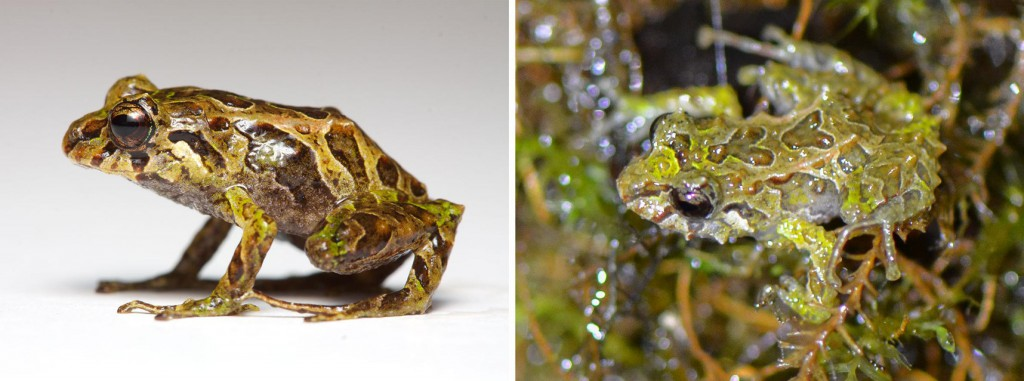 The mutable rainfrog (pictured) can go from smooth (left) to spiny in minutes. Photographs by Juan M. Guayasamin (right) and Lucas Bustamante (left), The Zoological Journal of the Linnean Society