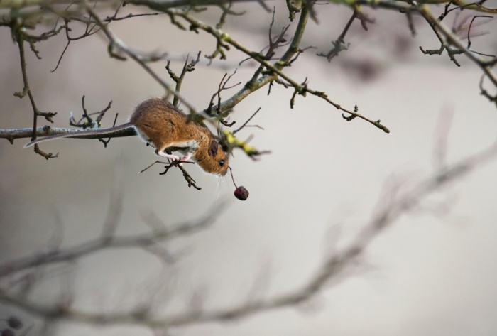 A wood mouse (Apodemus sylvaticus) reaches for a juicy berry in Gloucestershire, UK