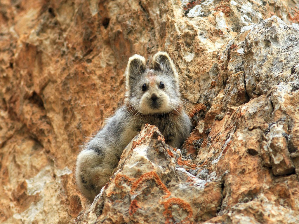 This Ili pika was seen last summer in China's Tianshan Mountains. Photograph by Li Weidong