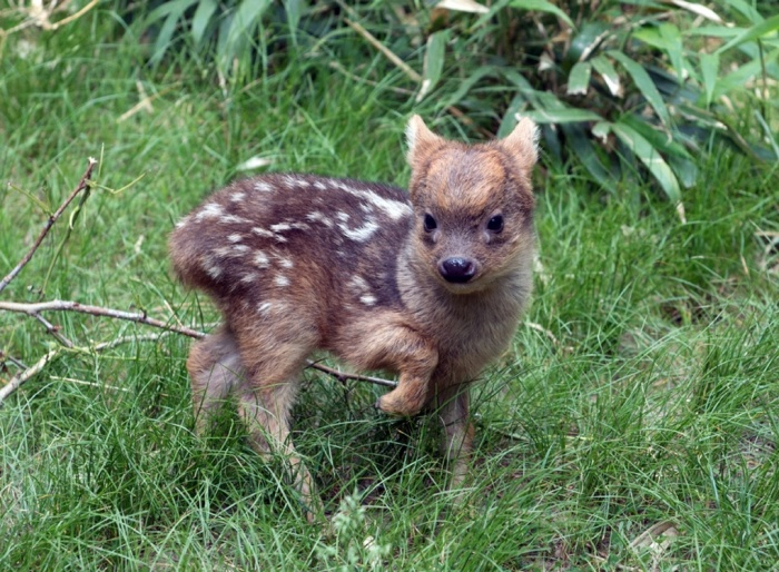 A southern pudu fawn, world's smallest deer species, walks in its enclosure at the Queens zoo in New York. Southern pudus are about a foot tall at the shoulder. At birth they're six inches high, and weigh less than a pound.