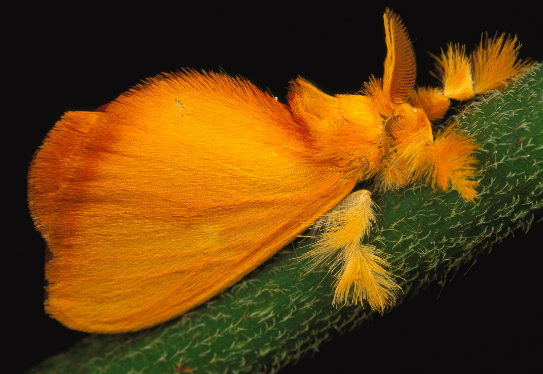 Fuzzy Jewel This tropical jewel moth, Acraga coa, is found mostly in Central America. Jewel moths undergo a spectacular transformation: From translucent larvae covered in protective goo to a vibrant fuzzy flier.