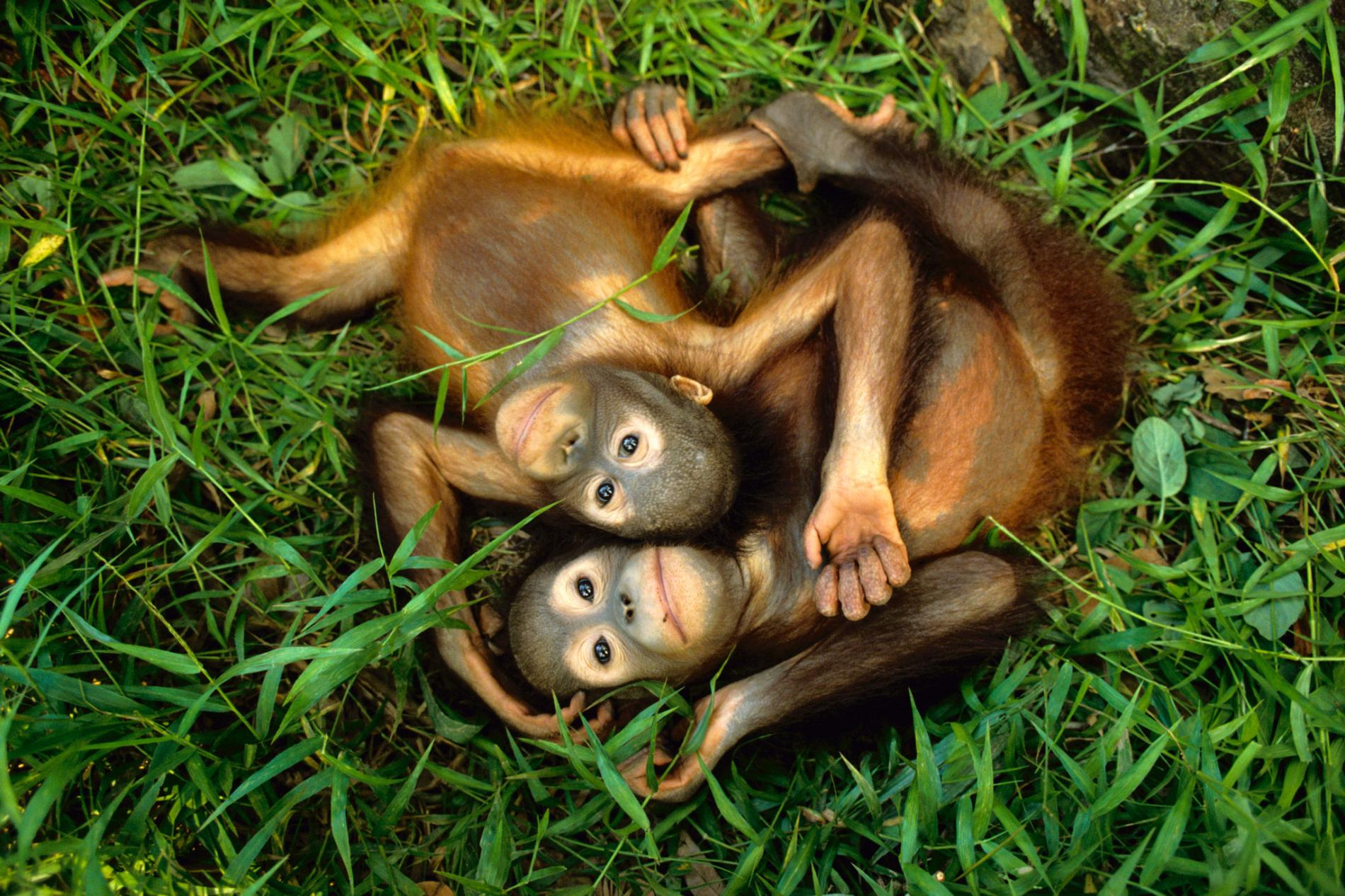 Cuddle Time These orphaned Bornean orangutans, Pongo pygmaeus, cuddle at the Sepilok Reserve in Sabah, Borneo, which is part of Malaysia. The Sepilok Orangutan Rehabilitation Centre was founded in 1964 to help such orphans.