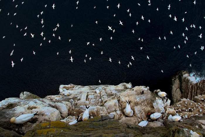 Gannets British Wildlife Photography award