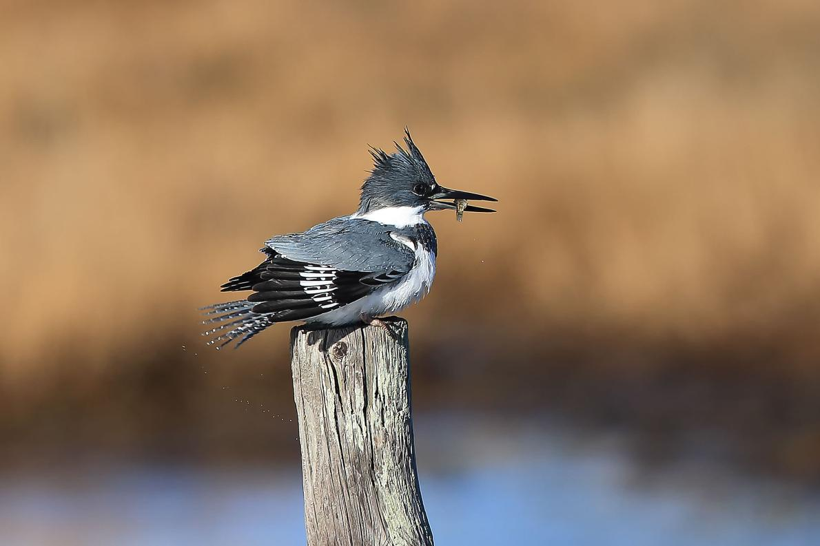 The belted kingfisher eats speckled dace and fathead minnows, two Colorado River fish that are highly contaminated with mercury. The levels found are 30 to 40 times higher than those shown to be toxic to fish-eating wildlife.