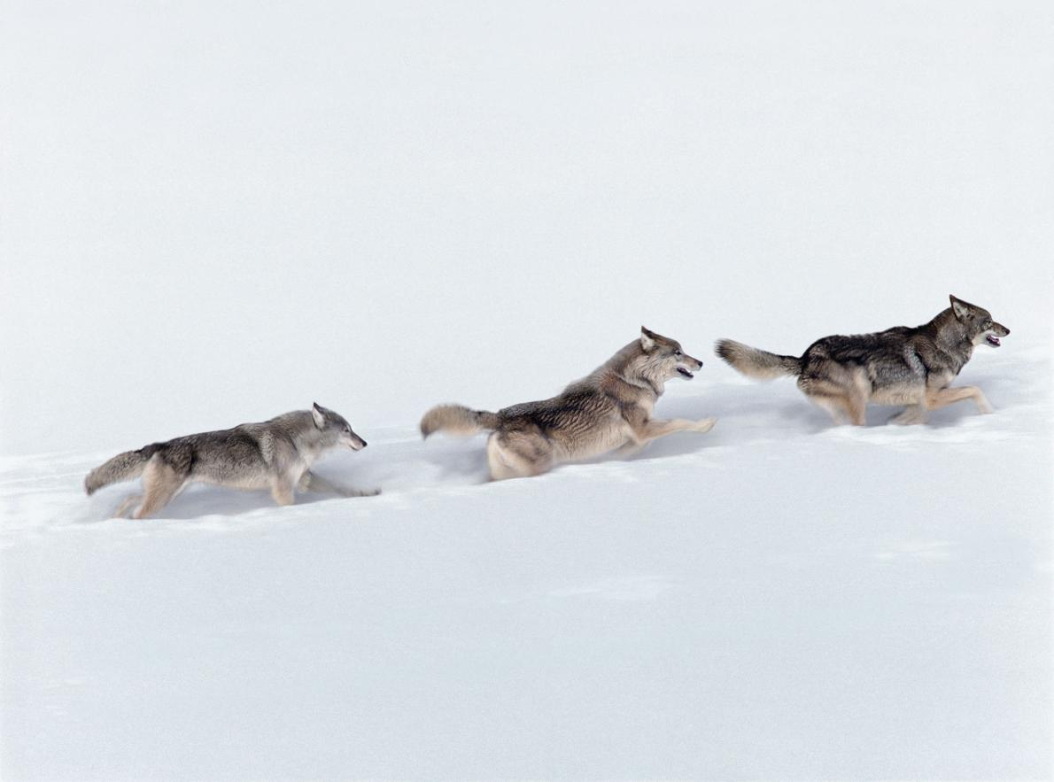 Making Strides Gray wolves (Canis lupus) run through fresh snow in Yellowstone National Park, Wyoming. The gray wolf was nearly poisoned to extinction in the contiguous U.S., but conservation efforts have grown the population to about 5,500 wolves.