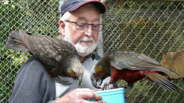 Russell Evans and kaka parents Casey and Hannah have welcomed four new chicks to their nest at Bush Haven bird sanctuary in Otatara.