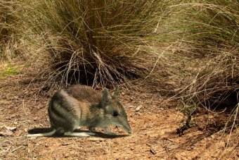 The critically endangered Eastern Barred Bandicoot is one of more than 300 native species threatened by rabbits.