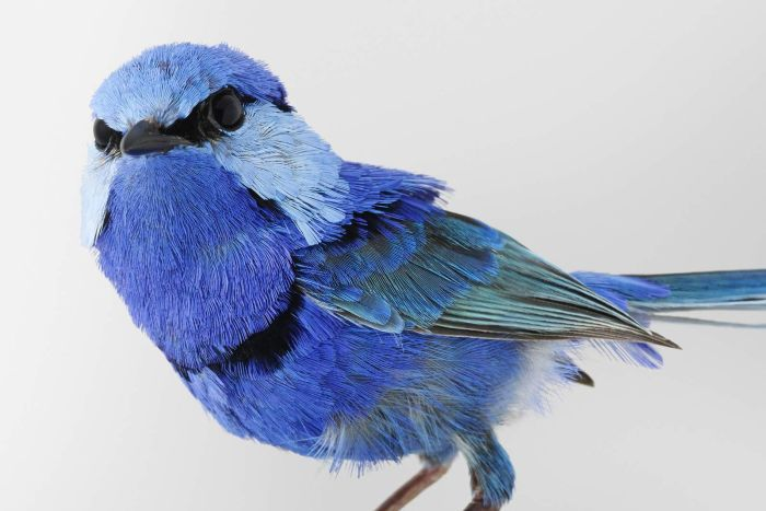Pepe, the Splendid Fairy-wren, as featured in Leila Jeffreys' book Birdland.