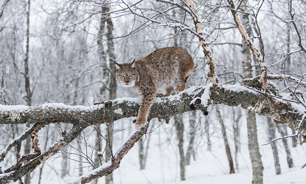 The Eurasian lynx: research from other European countries shows their reintroduction is unlikely to trouble British farmers. Photograph: Alamy Photograph: Jamen Percy/Alamy