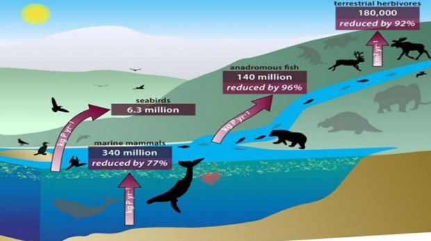 An interlinked system of animals carry nutrients from ocean depths to deep inland, through their poo, urine, and, upon death, decomposing bodies. Here, the red arrows show the estimated amounts of nutrients that were moved. Grey animals represent extinct or reduced densities of animal populations. Photo: PNAS, Renate Helmiss