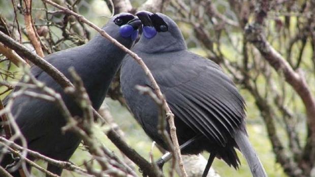 A pair of kokako has been found sitting on a nest outside the management area for the first time ever.