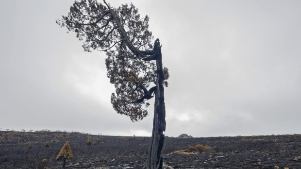 Destroyed pencil pine on Tasmania's central plateau. Photo: Rob Blakers