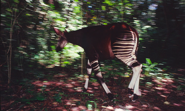 An okapi fitted with radio collar to gather data in the Ituri forest, Democratic Republic of Congo. Without action, the species will be lost, conservationists warn.  Photograph: Jabruson/NPL/Corbis