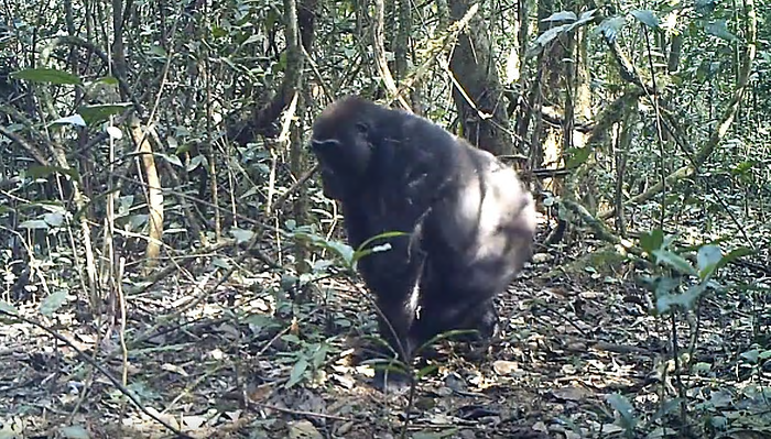 A pregnant female gorilla spots the camera trap – the first capture of the animals on camera as part of the Clubs des Amis des Gorilles (Gorilla Guardian Clubs) programme in Ebo Forest, Cameroon. The forest is currently unprotected and yet shelters 11 diurnal primate species, including the endangered Nigeria-Cameroon chimpanzee and a very small population of gorillas, which are thought to be a new subspecies, although this is yet to be confirmed. Photograph: Gorilla Guardian Clubs