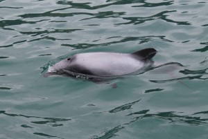 Hector's dolphins are the world's smallest dolphin, by length, measuring just 1.2-1.4 metres. photo Alison Balance