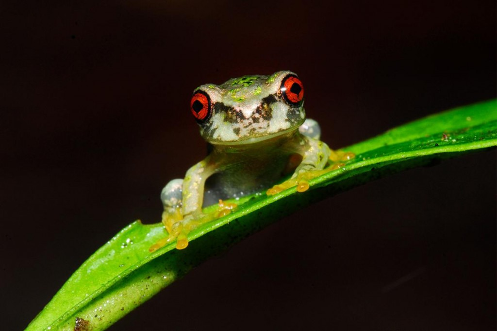 The Cusuco spike-thumb frog (Plectrohyla dasypus) is one of several endangered species from the cloud forests of Honduras that scientists hope to save from extinction. Photograph by Jonathan Kolby
