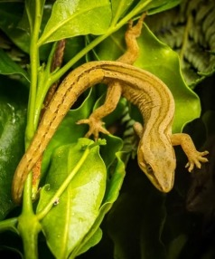 A golden gecko was found at a house near Omata School last week, however students at the school are yet to find one in their own reserve.