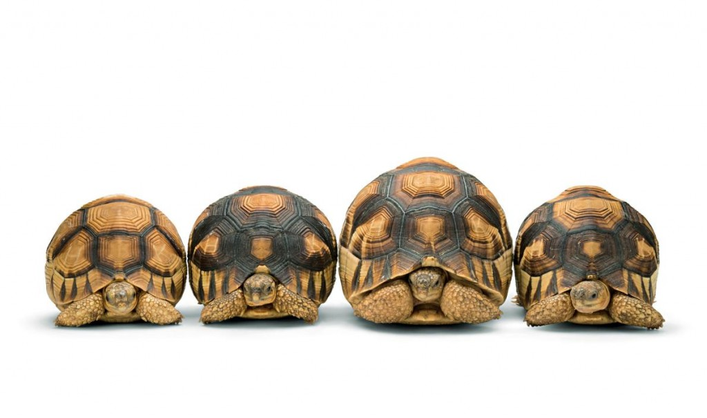 Considered the rarest of their kind, ploughshare tortoises are hunted illegally to supply the pet trade. Photograph by Joel Sartore, National Geographic Photo Ark, Zoo Atlanta