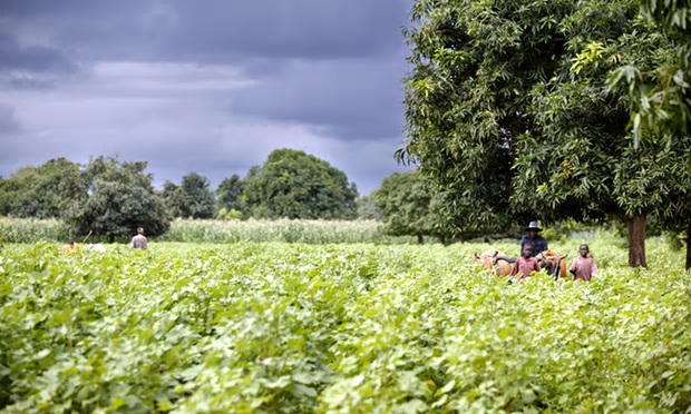 An organic cotton farm near Djembala village in Mali. Intensive farming with excessive use of fertilisers and pesticides has disastrous consequences on human and animal health, and ecosystem, study says. Photograph: Michael Dunlea/Alamy