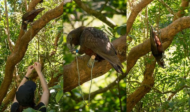 In the string pulling experiment the kaka have to get at a cashew nut suspended on a long piece of string. There were a number of ways of solving this problem, including hanging upside down. Photo: Judi Miller / Zealandia