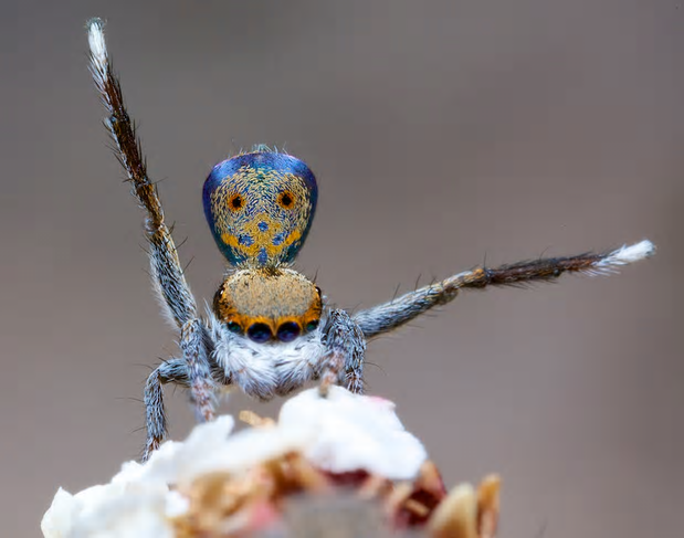 Maratus vultus, one of the new species discovered by Jürgen Otto. Photograph: Jürgen Otto
