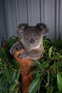 Their specific diet of eucalyptus leaves means that koalas are vulnerable to habitat loss. Photo: Supplied