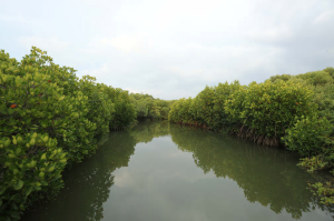 Waterways surrounded by rich mangrove belts in Vidaththal Theevu, Mannar district. In the last half-century, more than half the world's mangroves have been lost. Sri Lanka has launched a project to protect its 37,050 acres of mangrove forests, combining legal protection, education and conservation, while supporting sustainable economic development for Sri Lanka's coastal communities