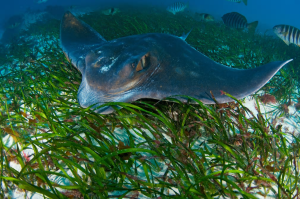 The map's compilers discovered that a single hectare of seagrass grown in southern Australia adds an additional 30,000 fish into a given bay or estuary every year. This adds about $24,000 in revenue to local commercial fisheries. So by growing additional areas of seagrass, fishermen will help the environment and enhance their livelihoods.