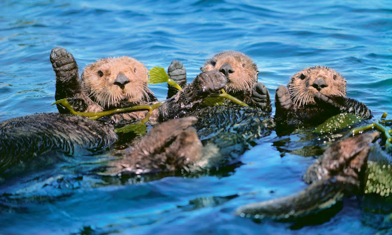 Sea otters floating in kelp. They help kelp forests to flourish by keeping sea urchin numbers under control. Photograph: Frans Lanting/Getty Images
