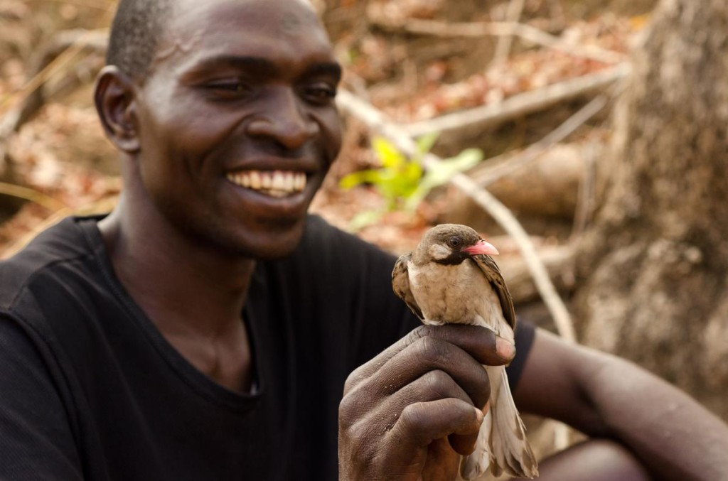 Yao honey hunter Orlando Yassene holds a male greater honeyguide temporarily captured for research in the Niassa National Reserve, Mozambique. Photograph by Claire Spottiswoode