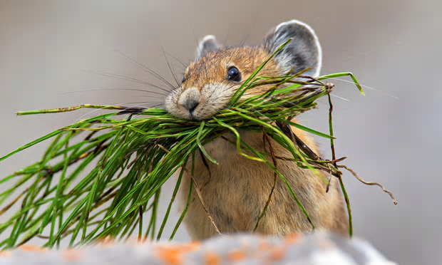 Pikas have disappeared from more than half of the areas in which they used to live in north-eastern California, the US Geological Survey said. Photograph: Arndt Sven-Erik/BBC