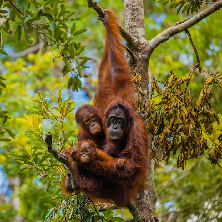 A family of Bornean orangutans hang out at Camp Leakey in Tanjung Putin National Park, part of Borneo, Indonesia. The camp, which spans 19 square miles (49 square kilometers), has hosted ongoing orangutan research for more than 40 years. Photograph by Ralph Lee Hopkins, National Geographic Creative