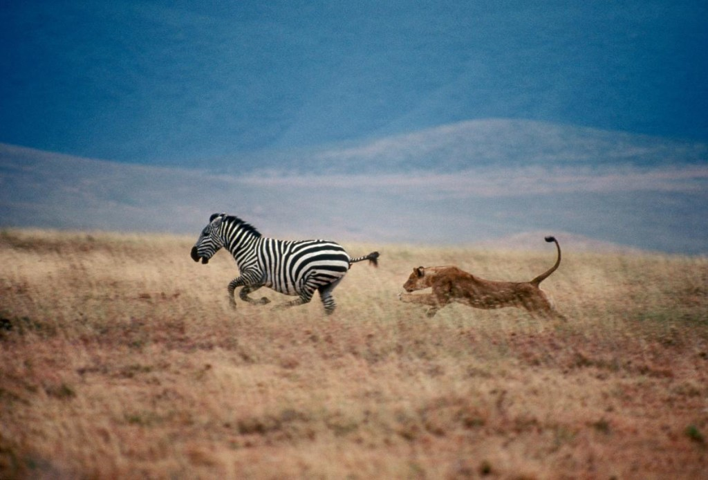 A female lion chases a zebra in Tanzania's Serengeti National Park. Photograph by Mitsuaki Iwago, Minden Pictures/National Geographic