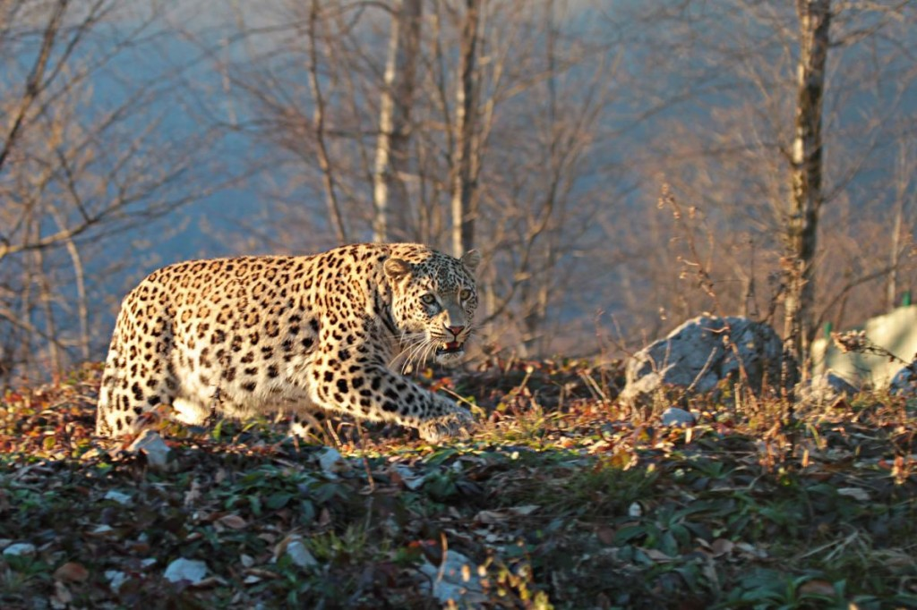 A Persian leopard walks through the grounds of the reintroduction center in Sochi. Photograph by Umar Semenov