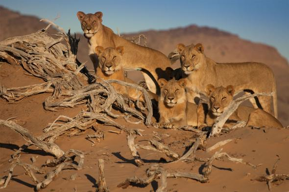 Five desert lions look out over the Namibian landscape. Three desert lions, who were featured in a National Geographic film earlier this year, died in August after eating a donkey carcass laced with poison.