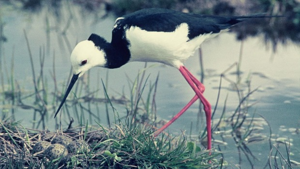Poaka or pied stilts are quite common in New Zealand but their numbers are declining.