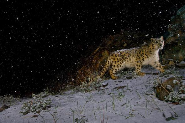 A remote camera captures a snow leopard in the falling snow in Hemis National Park, India. Photograph by Steve Winter, National Geographic Creative