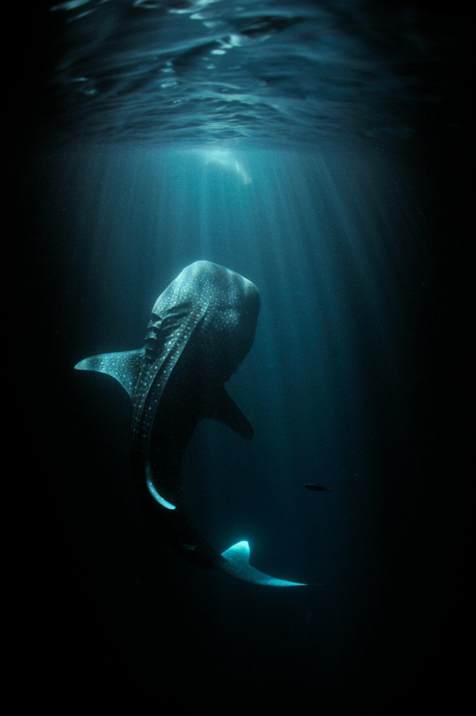 The giants of the sea are captured in all their glory.  (National Geographic: Thomas Peschak)
