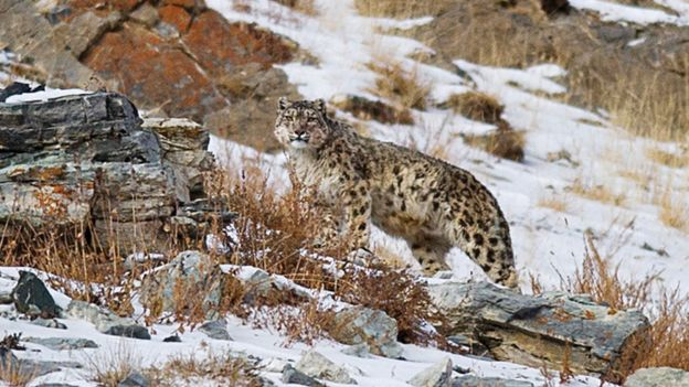 The powerful camouflage of the snow leopard's coat makes them hard to see in snowy, mountainous locations