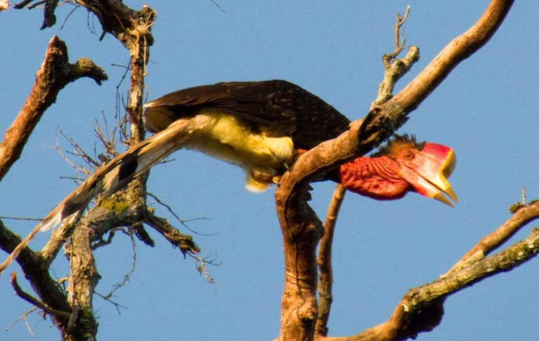 "The helmeted hornbill (Rhinoplax vigil) is one of Southeast Asia's most unique birds, with a large ivory-like casqued beak that is used by males in head-to-head aerial combat. The scarlet-colored ""red ivory"" casques are highly valued by illegal traffickers. Photo © Y. Hadiprakarsa/IHCS"