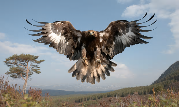 There are now more than 500 breeding pairs of golden eagles in the UK, all in Scotland. Photograph: Peter Cairns/RSPB