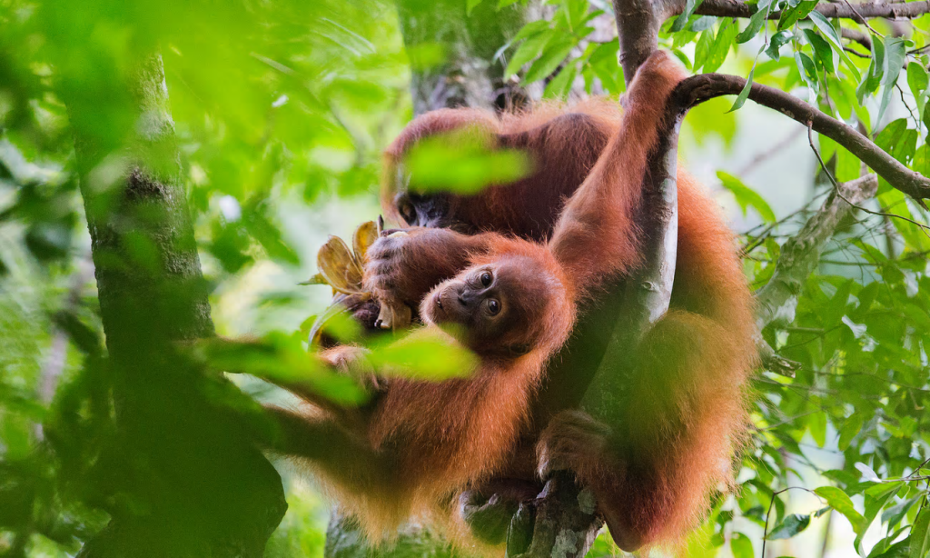 Critically endangered Sumatran orangutans in the Leuser ecosystem, icons in the struggle to save their rainforest home. Photograph: Paul Hilton