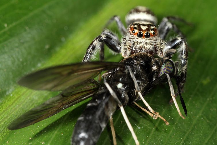 Jumping spiders are particularly good at catching large pests like flies. Jim Mclean, Author provided