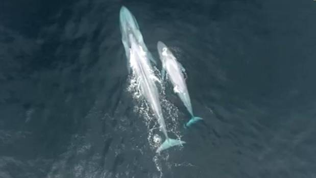 A baby blue whale filmed nursing off the Taranaki coast observed by Leigh Torres and her crew in 2016 was likely a world-first. Photo: Supplied