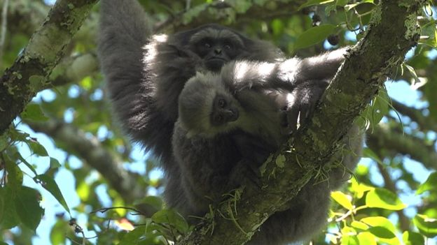 The arrival of the new baby gibbon provides hope for the future of this endangered species
