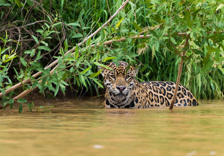 Pantanal jaguars are the largest in the world. Hans Wagemaker / shutterstock