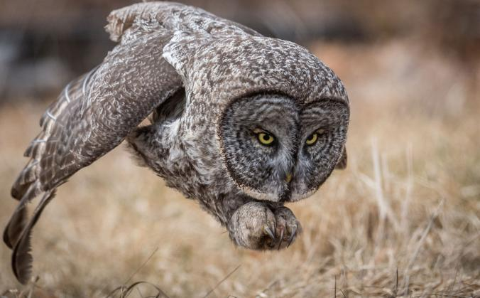 Great gray owl. Newport, New Hampshire, United States. Photograph by Harry Collins, National Geographic Your Shot